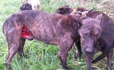 Los cazadores alertan de un aumento de los ataques de jabalíes a sus perros