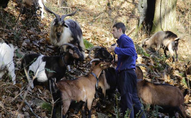 El Cabrales y el Gamonéu, «en peligro» por el lobo, alertan los elaboradores