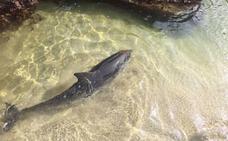 Fallece un delfín varado en la playa de La Paloma, en Tapia