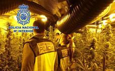 Cuatro detenidos en Oviedo por tener un invernadero con 1.179 plantas de marihuana
