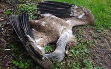 Hallados dos ejemplares de buitre leonado muertos en Proaza
