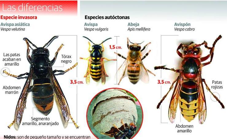 Las diferentes especies de avispas