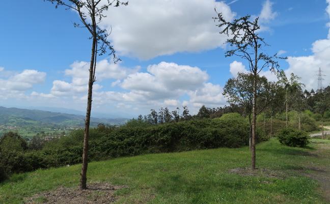 El Ayuntamiento planta medio centenar de árboles en tres zonas del concejo