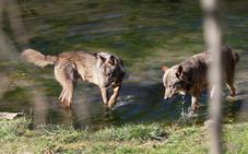 Los ataques del lobo se extienden por la costa y llegan hasta la zona rural de Gijón