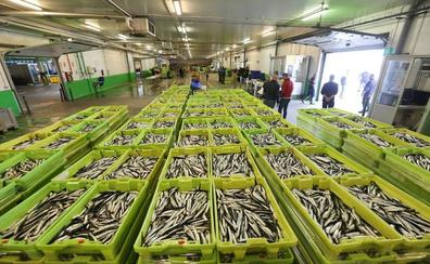 300.000 kilos de 'bocartada' en un día