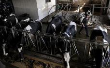 El 10% de la leche que se bebe en España es de Asturias