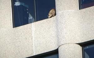 Un mapache se vuelve viral después de escalar un edificio de 25 plantas