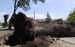 La caída de un roble bloquea una carretera de Granda en Gijón durante cuatro horas
