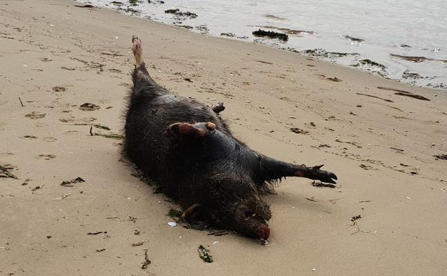 Aparece un jabalí muerto en la ensenada de Lloredo, en Zeluán