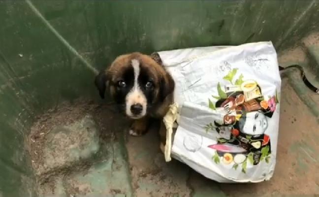 Aparece un mastín de un mes de vida en la basura en Grado