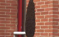 Preocupación en La Fresneda por la formación de un enjambre de abejas