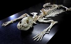 La hiena de Ribadesella sale a la luz 37.600 años después