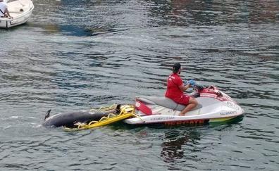 Aparece un delfín muerto en Gijón