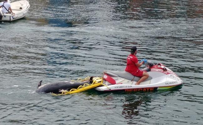 Los socorristas retiran un delfín muerto de las rocas de la playa de Serín