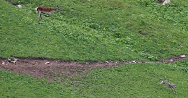 Espectaculares imágenes de un lobo escapando del ataque de un ciervo