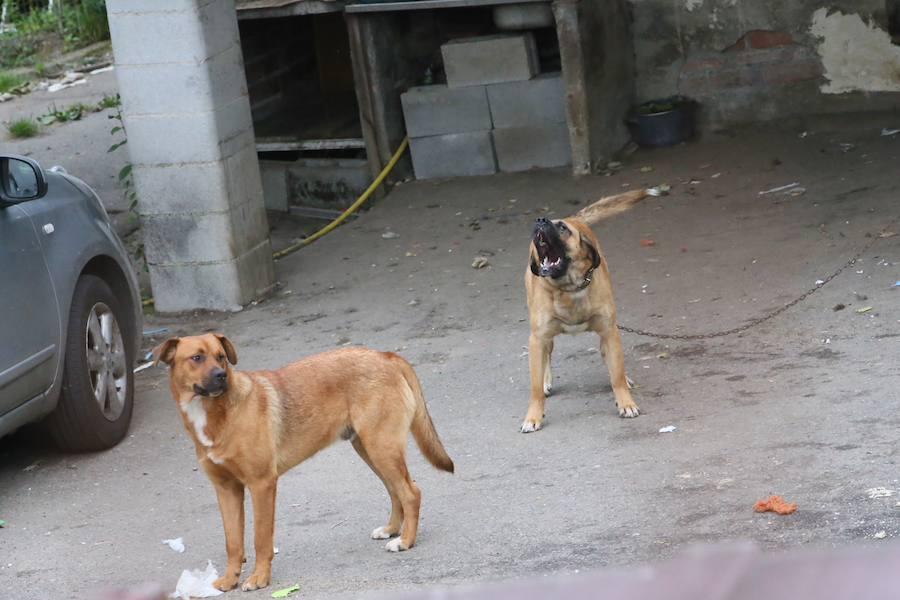 Un hombre de 87 años fallece tras ser atacado por los seis perros de un vecino en Siero