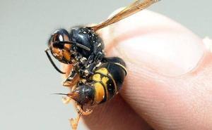 Fallece un hombre por dos picaduras de avispa velutina en Galicia