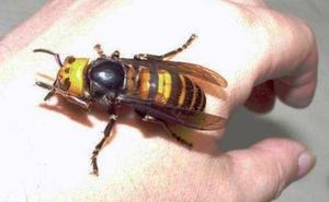 Muere un hombre de 44 años al ser atacado por avispas asiáticas en Galicia