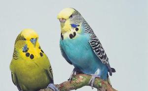 Los Canapés acoge este sábado una exhibición de periquitos ingleses