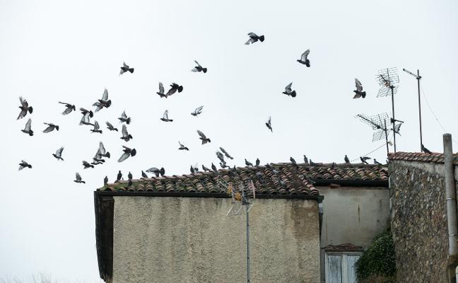 Reclaman un control de la colonia de palomas en zonas urbanas de Siero