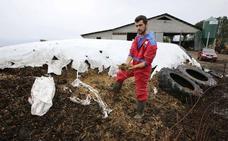 Denuncian daños «de 80.000 euros» por el jabalí en una ganadería de Luces