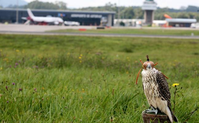 El aeropuerto de Asturias usa aves rapaces para evitar incidentes como el de El Prat