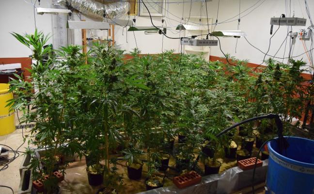 La Guardia Civil incauta 134 plantas de marihuana en Las Regueras