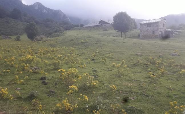 La 'flor de Santiago' invade Brañagallones y se quitará a mano