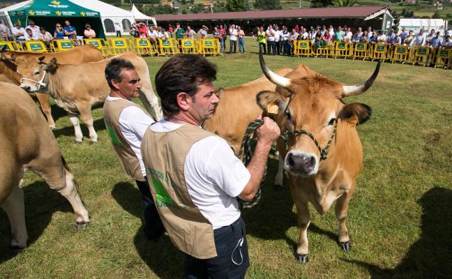 El concurso ganadero de Llanera aumenta las explotaciones y reses participantes
