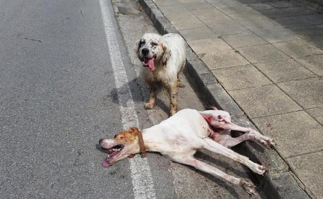 Atropellan y dejan abandonados a dos perros en Pola de Laviana