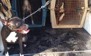 Rescatan de una vivienda de Gijón a quince perros pitbull sin licencia ni microchip y con «extrema delgadez»