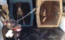 Liberan en Tremañes a quince pitbulls sin licencia y con una «delgadez extrema»