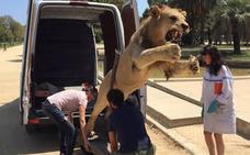 Vendo león para cuarto de estar