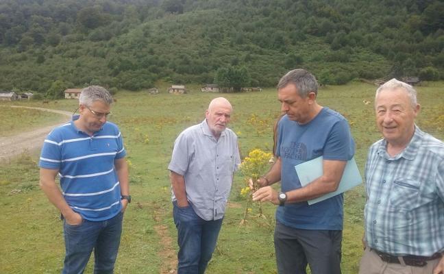Cincuenta voluntarios ayudarán el jueves a arrancar la flor de Santiago en Brañagallones