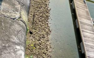 Cientos de vasos, al descubierto por la bajamar en el fondo del Puerto Deportivo de Gijón