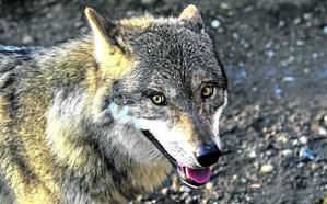 'Alpha': así es el perro lobo checoslovaco que protagoniza la película