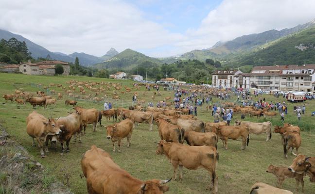 Récord en la feria de San Cipriano con la presencia de 654 reses en Panes