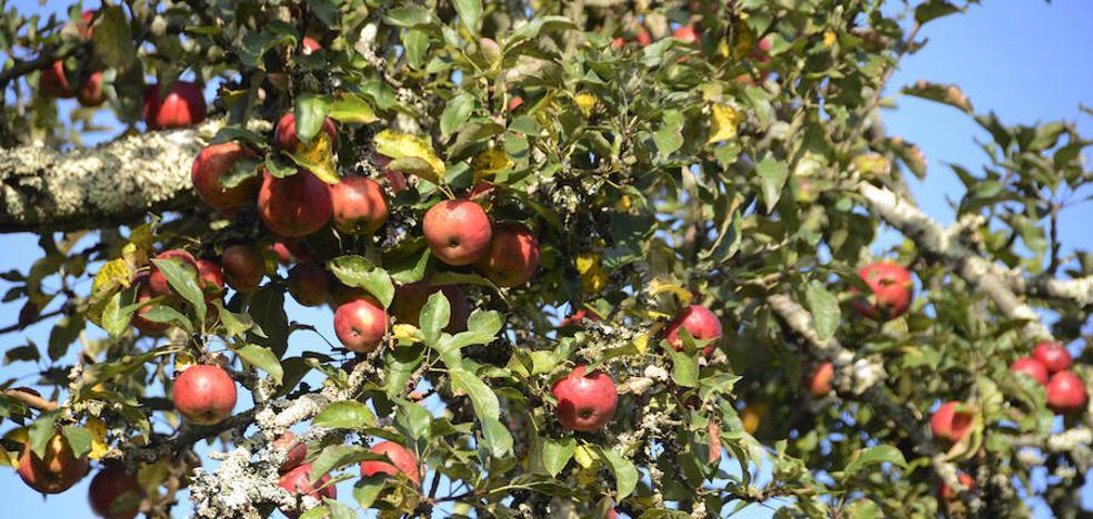 Cómo hacer una buena mermelada de manzana