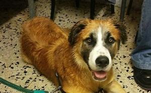 Buscan a Chigre, un perro desaparecido en las fiestas de Cimavilla en Gijón