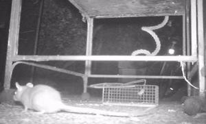 El PP advierte sobre la proliferación de ratas en Gijón