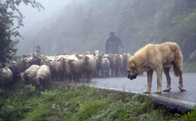 El perro, un 'arma' efectiva en la lucha contra los daños del lobo a la ganadería