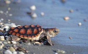 Acude a Urgencias en Tenerife con una tortuga muerta en su vagina
