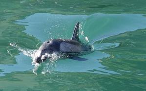 La angustiosa situación del delfín que llegó al puerto de Llanes