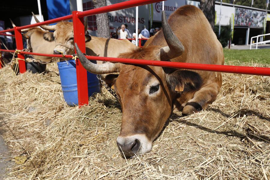 Las vacas frisonas, protagonistas en Agropec