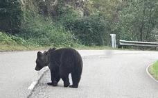 Buscan a un oso herido entre Proaza y Teverga