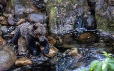 Los grupos conservacionistas urgen un protocolo de intervención tras la muerte de una osa