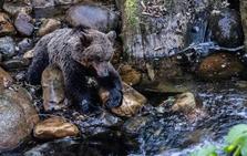 La osa hallada en el río Teverga murió por graves lesiones en las patas