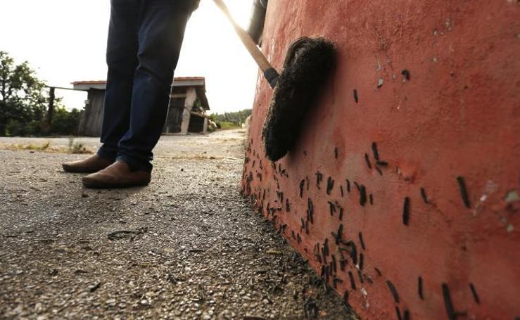 Invasión de orugas en Poago y Monteana
