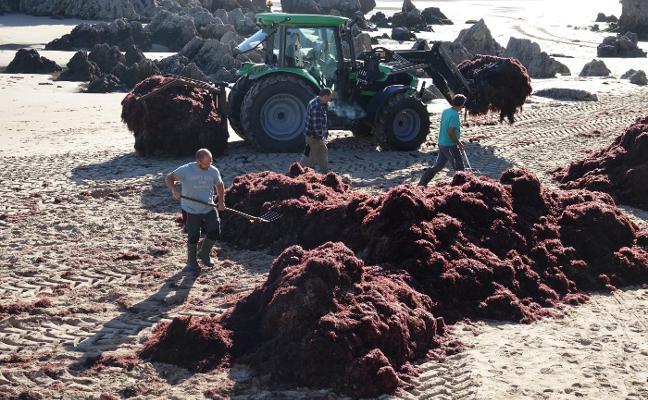 Las mareas acercan el 'oro rojo' a Llanes