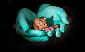 Logran producir crías de ratón con padres del mismo sexo